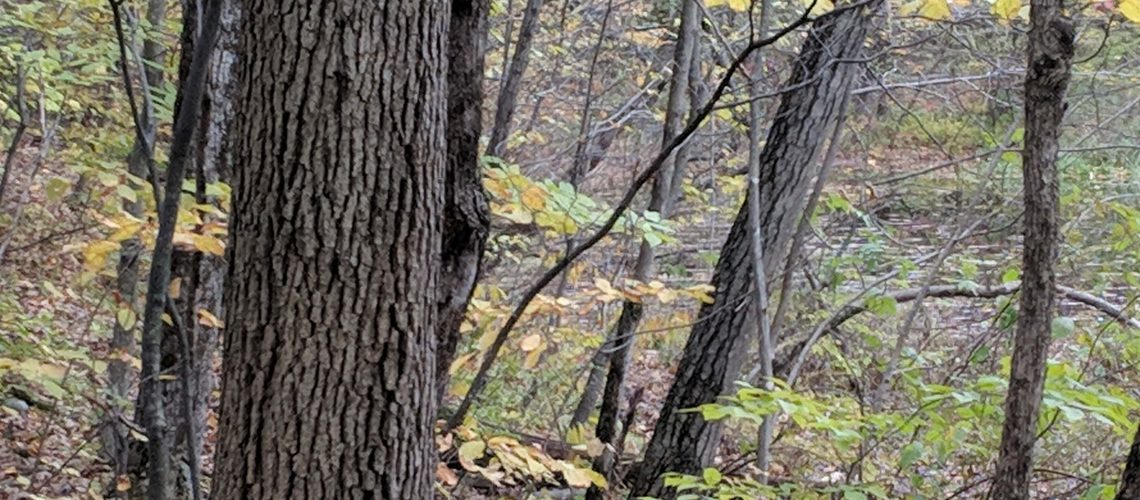 Fall Woods Trail Camera Location